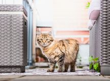 Young fluffy cat on balcony . Siberian cat lifestyle royalty free stock photos