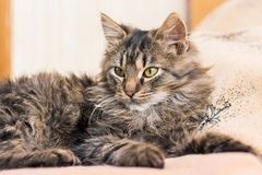 A young fluffy cat lays on the bed in the bedroom_. A young fluffy cat lays on the bed in the bedroom stock photo