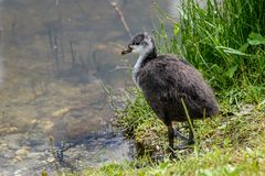 Young fluffy coot. royalty free stock photography