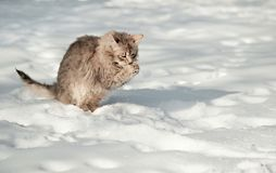 Young fluffy gray cat eats snow royalty free stock image