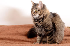 Young fluffy gray domestic cat at home. Adobted pet. Stock Photo