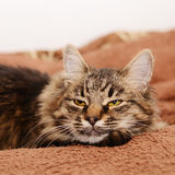 Young fluffy gray domestic cat at home. Adobted pet. Stock Image