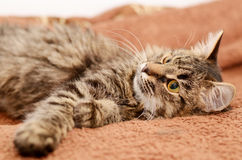 Young fluffy gray domestic cat at home. Adobted pet. Royalty Free Stock Photo