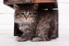 Young Fluffy Kitten In The Chest Stock Images