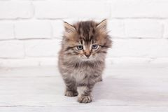 Young fluffy kitten Royalty Free Stock Photos
