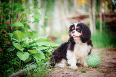 Young fluffy tricolor cavalier king charles spaniel sitting with toy ball in summer Royalty Free Stock Image