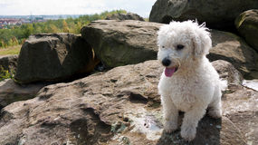 A young fluffy white dog sitting on rocks Stock Image