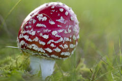 Young fly agaric fruit body. Outside on a meadow Royalty Free Stock Image