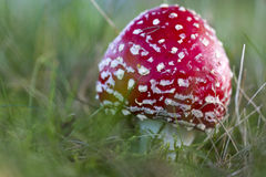 Young fly agaric fruit body. Outside on a meadow Stock Photography