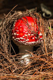 Young fly agaric mushroom. Close up of young fly agaric mushroom Stock Image