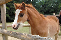 Young foal royalty free stock photography