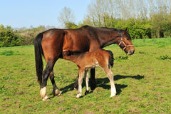 Free Young Foal Royalty Free Stock Image - 19489276
