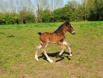 Young foal Stock Photography