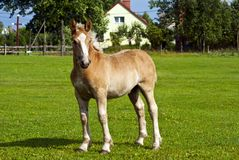 A young foal Stock Photography