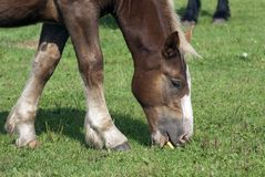 A young foal Royalty Free Stock Photos