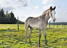 Young foal Royalty Free Stock Photo