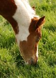 Young Foal eating Grass. Young painted foal eating grass in a green field stock image