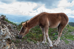A young foal is eating grass in the mountain Royalty Free Stock Photos