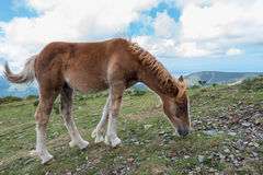A young foal is eating grass in the mountain Royalty Free Stock Photography