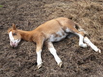 Young Foal fast asleep Stock Photo