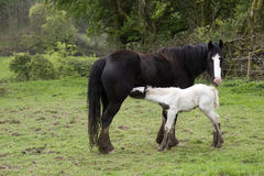 Young foal feeding from its mother Stock Images