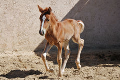 Young foal galloping. In arena royalty free stock photo