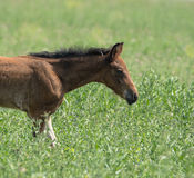 young foal galloping across Royalty Free Stock Image