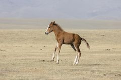 A young foal gallops wildly through the steppe at Song Kul Lake. In Kyrgyzstan stock image