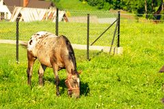 Young foal grazes on green grass in the mountains. The horse stands on a meadow and eats stock photography