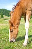 Young foal grazing Stock Image