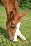 Young foal grazing Stock Photography