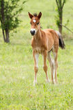 Young foal Stock Image