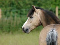 Young Foal Stock Photo