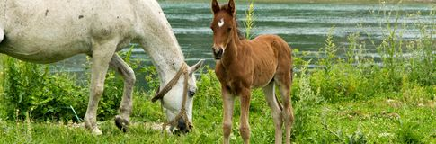 Young foal with his mom in the meadow stock photography