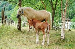 Young foal. With his mother Stock Photography