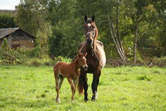 Young foal and his mother at the pasture Stock Photos