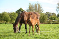 Young foal and his mother at the pasture Royalty Free Stock Photos