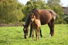 Young foal and his mother at the pasture Royalty Free Stock Photo
