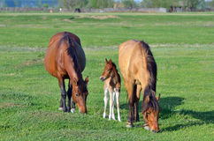 Young foal with his mother Stock Photos