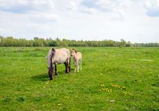 Young foal beside its Konik mother horse Stock Photography