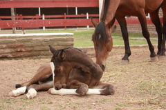 Young foal laying down Stock Photos