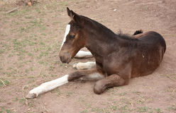 Young foal laying down Royalty Free Stock Images