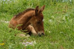 Young foal with lying in the grass royalty free stock photos