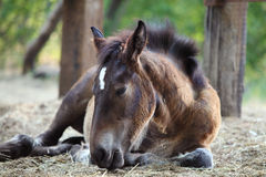 Young foal lying on the ground. Animal of farm stock photography