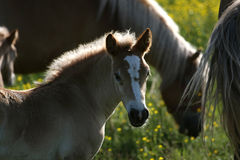 Young foal with mare. Young foal with a group of mares and foals at the end of the day royalty free stock photography