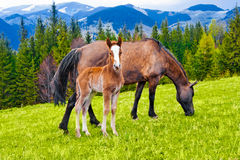 Young foal and mare on meadow at mountains Stock Image
