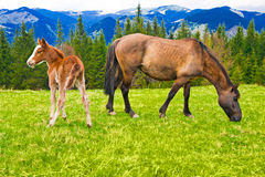 Young foal and mare on meadow at mountains Stock Photography