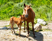 Young foal and mare at meadow Royalty Free Stock Images