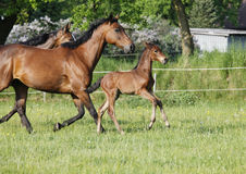 Young foal with mares Royalty Free Stock Photo