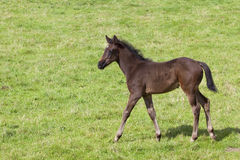 Young foal in a meadow Stock Images